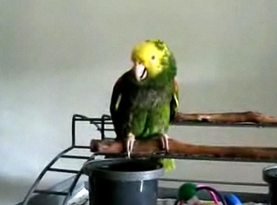 Ta papuga płacze jak dziecko