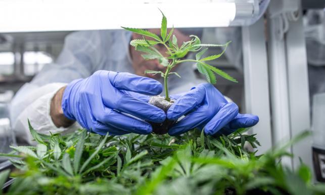 Tak rośnie lecznicza marihuana. Przyniesie gigantyczne zyski