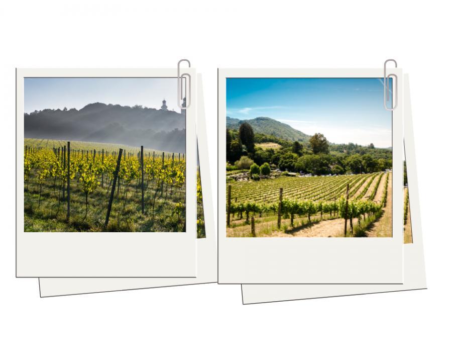 1. Plantacje winorośli w Małopolsce i Zielonej Górze - jak w słonecznej Toskanii