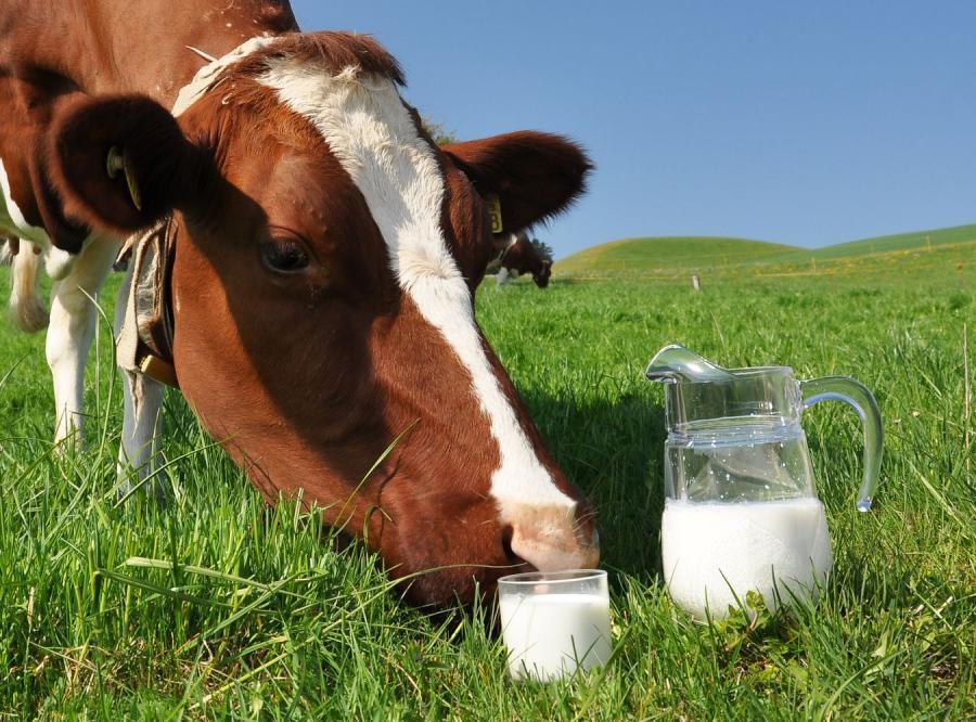 Mleko prosto od krowy to hit