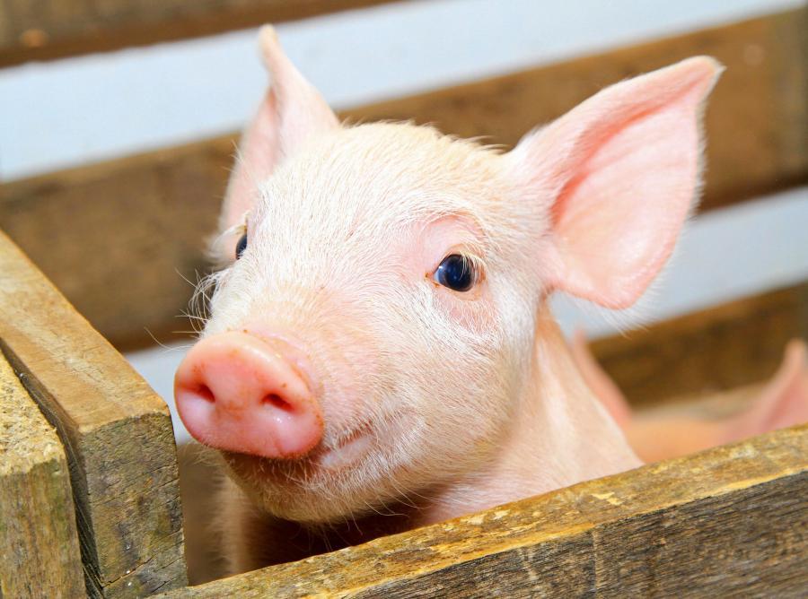 PETA informuje że zabito już 15 tysięcy świń
