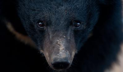 Niedźwiedzie himalajskie dostarczają fabryce Guizhentang surowca do produkcji tradycyjnych chińskich lekarstw. Nieważne, że zwierzaki cierpią. Liczy się zysk