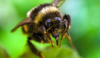 Pszczoła w locie