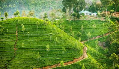 Pola herbaciane, Sri Lanka