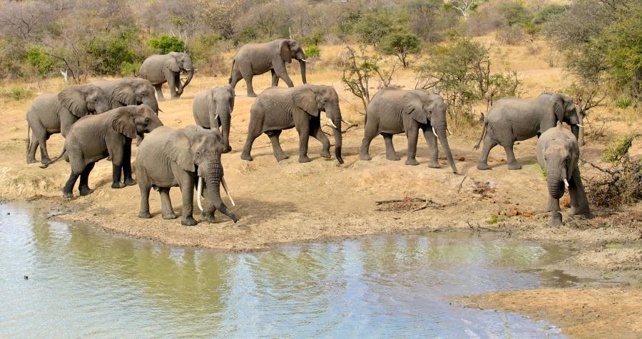 Słonie u wodopoju
